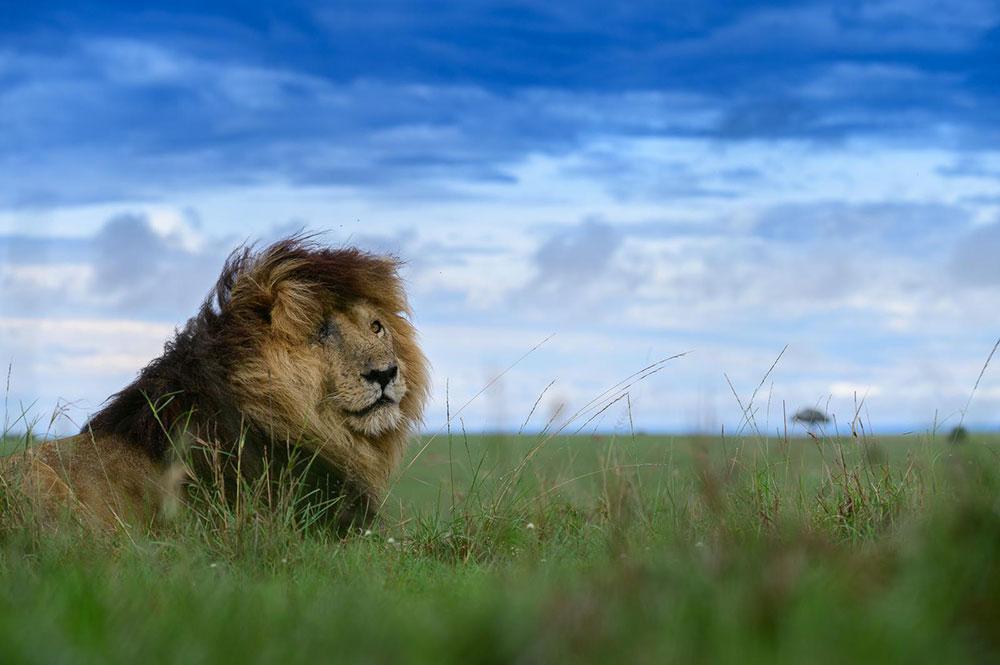 Scarface Lion on the plains