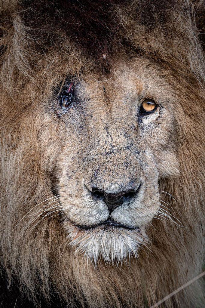 One-eyed lion