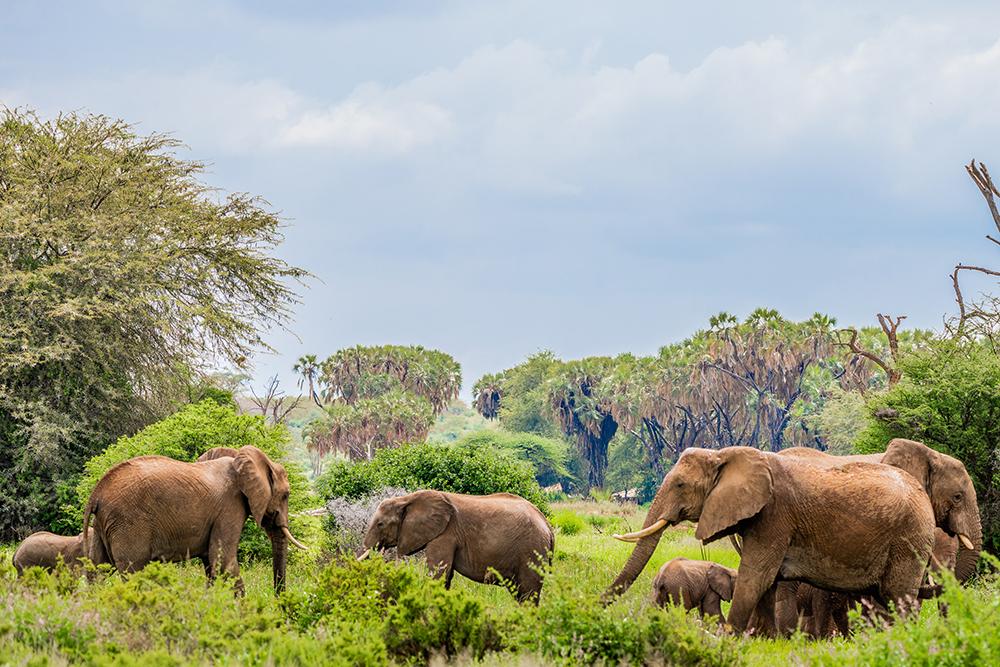elephants in Samburu